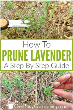 Pruning Lavender: A Step-By-Step Guide - Get Busy Gardening Lavender Pruning, Lavender Plant Care, Lavender Bush, Growing Lavender, Growing Herbs, Lavender Plants, Lavender Leaves, Lavender Fields, Pruning Plants