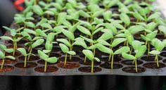 Выращивание рассады: 15 самых распространённых ошибок