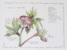 Hellebore - Middlewood Journal: February 2009