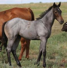 So tempted to breed my mare to a blue roan so I can get some sweet little foal like this...drooling...
