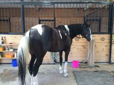 2009 Half Arabian mare Black and White www.facebook.com/tntranch