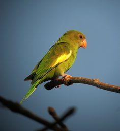 https://flic.kr/p/e8gCd1   Brotogeris versicolurus / Periquito aliblanco / Canary-winged Parakeet   Leticia, Amazonas, Colombia