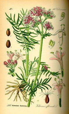 Valeriana dioica växte tydligen i Björnhovda när Linné utforskade stället.  Illustration_Valeriana_officinalis0.jpg 1476 × 2444 pixlar