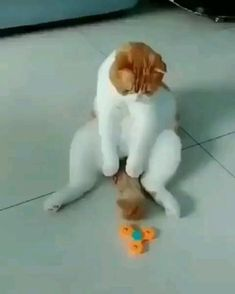 Lazy cat playing with fidget spinner with his tail, haha Cute Funny Animals, Cute Baby Animals, Animals And Pets, Funny Cats, Cute Cat Gif, Cute Animal Videos, Funny Animal Pictures, Cute Kittens, Cats And Kittens