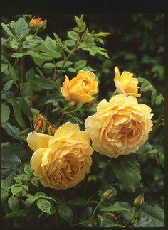 One of David Austin's Top 10 Most Fragrant English Roses: 'Golden Celebration' is known for its magnificent, tea-scented blooms that often develop a mouth-watering combination of sauterne wine with strawberry notes. (English Rose 'Golden Celebration' – Repeat-flowering, exceptionally large cupped flowers that are beautifully-formed and full-petaled, rich, golden-yellow color, particularly good winter hardiness, USDA zones 4-9).