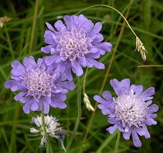 Google Image Result for http://wildflowerfinder.org.uk/Flowers/S/Scabious(Small)/Scabious(Small)_2005_07_27_Ribblehead_Inglbro_HortonInRibblesdale_028p2.jpg