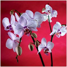 Nature photography print. Phalaenopsis Orchid photograph. Flowers, fine art photography, botany