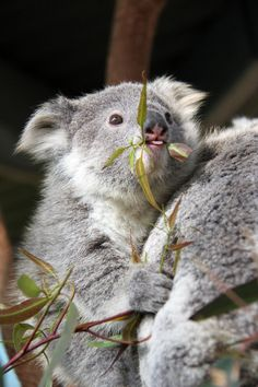 """""""Is this how you do it?""""   These Baby Koala Joeys Are Too Cute"""