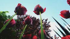 Der Sonne entgegen... #spring #frühling #flower #stahnsdorf #tulips