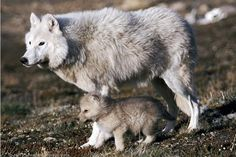 Arctic wolf with pup.