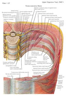 Innervation of Abdomen and Perineum The segmentally arranged nerves are attached to the sides of the spinal cord by a series of anteri. Human Body Anatomy, Yoga Anatomy, Human Anatomy And Physiology, Shoulder Muscle Anatomy, Spinal Cord Anatomy, Nervous System Anatomy, Branches Of Biology, Spinal Nerve, Craniosacral Therapy