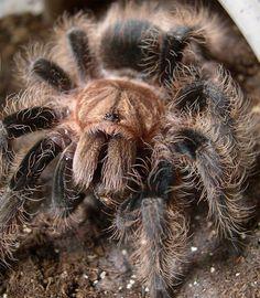 curly hair tarantula - Google Search