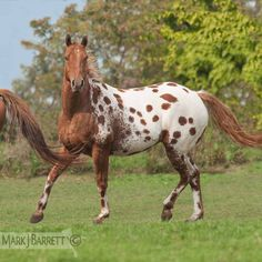 Sorrel semi-leopard Appaloosa horse