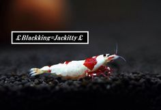 Red bee shrimp jackitty2