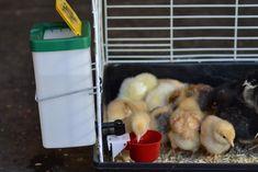 RentACoop Heated Chicken Waterer, Automatic Chicken Waterer, Poultry, Baby Chicks, Backyard Chickens