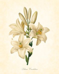 Image result for scientific illustration of lilies