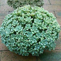 Cool Plants, Air Plants, Garden Plants, Indoor Plants, Cacti And Succulents, Planting Succulents, Planting Flowers, Succulent Landscaping, Succulent Gardening