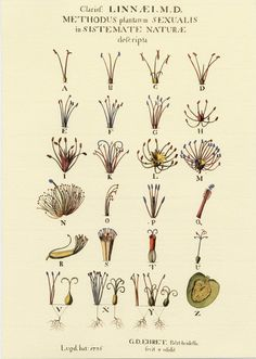 Linnaeus' sexual system with the 24 classes, illustrated by Georg Dionysius Ehret.