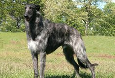The Scottish Deerhound, or simply the Deerhound, is a breed of sighthound, once bred to hunt the Red Deer by coursing. Irish Wolfhound, Large Dog Breeds, Large Dogs, Mastiff, Wild Dogs, Beautiful Dogs, Whippet, Goldendoodles, Animals