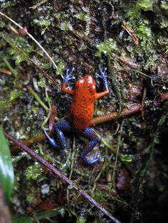 Strawberry Poison-Dart Frog (Blue Jeans frog - Dendrobates pumilio)