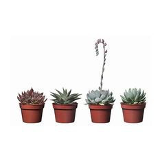 IKEA - SUCCULENT, Potted plant, assorted species plants, Native to arid areas all over the world. This plant is sensitive to cold water and under-watering, which may cause the leaves to fall off. Succulent Pots, Planting Succulents, Potted Plants, Indoor Plants, Planting Flowers, Plant Pots, Faux Succulents, Ficus Lyrata, Easy Care Plants
