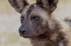 African Wild Dog African Wild Dog, Wild Dogs, Wildlife