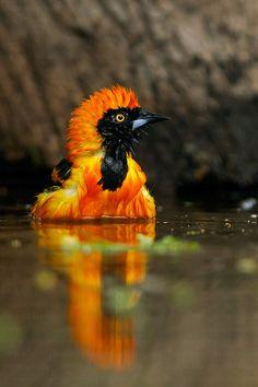 orange-backed troupial (photo by hide photography) I colorful birds Kinds Of Birds, All Birds, Love Birds, Pretty Birds, Beautiful Birds, Animals Beautiful, Colorful Animals, Colorful Birds, Tier Fotos