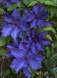20 x SEEDS CLEMATIS PRESIDENT LARGE PURPLE FLOWERS  CLIMBER PERENNIAL