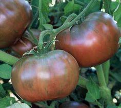 CHEROKEE PURPLE - The best tasting tomato that I've tasted so far.