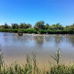 Pink flamingoes of La Carmargue in Parc Ornithologique de Pont de Gau