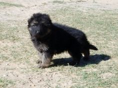 Longhair german shepherd puppy at the VHR RANCH in Paige Tx