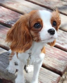 Find Out More On Fun Cavalier King Charles Spaniel Grooming Baby Animals Super Cute, Cute Little Animals, Cute Funny Animals, Perro Cocker Spaniel, Spaniel Puppies, Cute Dogs And Puppies, Baby Dogs, Doggies, Beautiful Dogs