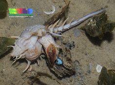 Murex snail (Murex trapa)