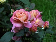 'Brownie ' Rose Photo