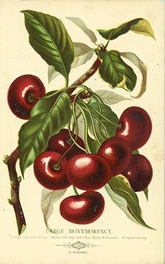 It's About Time: Spring Break - 19th-Century American Fruit Illustrations, these are nice and the website has other good reference materials for fruit