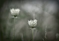 Fine Art Flower PhotographyNatureQueenAnnesLaceDreamySo Shabby AbstractKarenWebb Photography on Etsy, $30.00