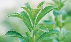 Stevia|ステビア|ハーブ・スパイスの効能