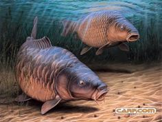 bait fishing carp | Basic Carp Fishing Pointers