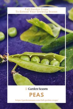 Peas | Fall Garden Crops To Extend Your Growing Season | You don't need a big space to grow peas and to produce a good harvest. You can actually grow them in pots or unused containers in your backyard. Leaves or tendrils should be properly propped up with wire netting or twigs of trees. Vegetable Garden For Beginners, Gardening For Beginners, Vegetable Gardening, Easy Vegetables To Grow, Fruits And Veggies, Autumn Garden, Edible Garden, Harvest, Pots