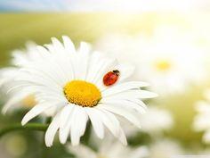 White Daisy Wallpaper - Colors Wallpaper (34692107) - Fanpop