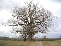 southern oak tree  | Southern Red Oak Tree in the Winter.