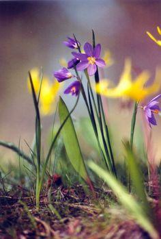 grass widow flower - Perennial