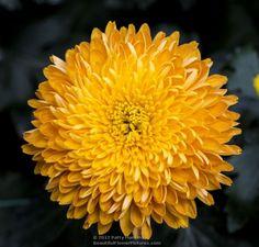 Honey Glow Pom Pom Chrysanthemum © 2012 Patty Hankins - My site Beautiful Butterflies, Beautiful Flowers, Flower Images, Bird Houses, Perennials, Glow, Honey, Fine Art, Chrysanthemums