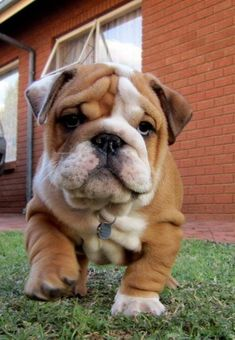 White and brown bulldog puppy..