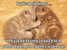 It's a Love/Hate Thing - LOLcats is the best place to find and submit funny cat memes and other silly cat materials to share with the world. We find the funny cats that make you LOL so that you don't have to. Funny Animal Memes, Funny Animal Pictures, Funny Animals, Funniest Animals, Animal Humor, Funny Humor, Silly Cats, Cats And Kittens, Funny Cats