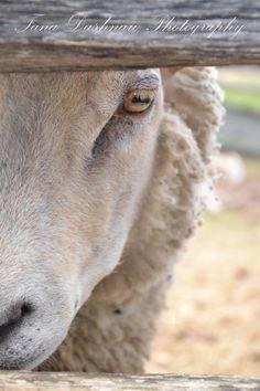 For my Master, Tana Dashnaw Photography - lamb, sheep