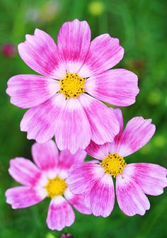 """Cosmos  'Happy Ring' - Flowers measure 4-5"""" across and bloom all summer. Excellent cut flower.  Height 36"""""""