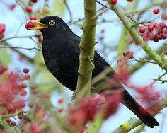 Blackbird ( Bah Humbug ) (par ajh2OO8)