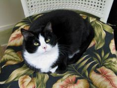 Suki is an adoptable Tuxedo Cat in Roanoke, TX. Suki was lured into the Carrollton Tuxedo Gang. She was picked up along with 5 other black and white cats in the industrial section of downtown. Suki wa...