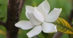 La gardenia es una de mis flores preferidas